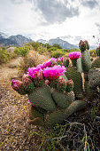 pink cactus flowers blooming on cactus growing in desert landscape of the Sierra Nevada mountains in California
