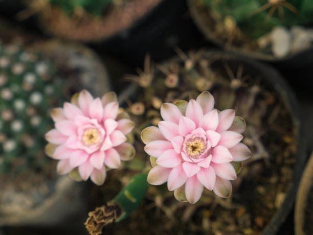 Pink Cactus Flowers Blooming stock photo