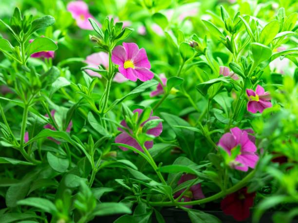 pink calibrachoa flower plug starts in home greenhouse - angiospermas imagens e fotografias de stock