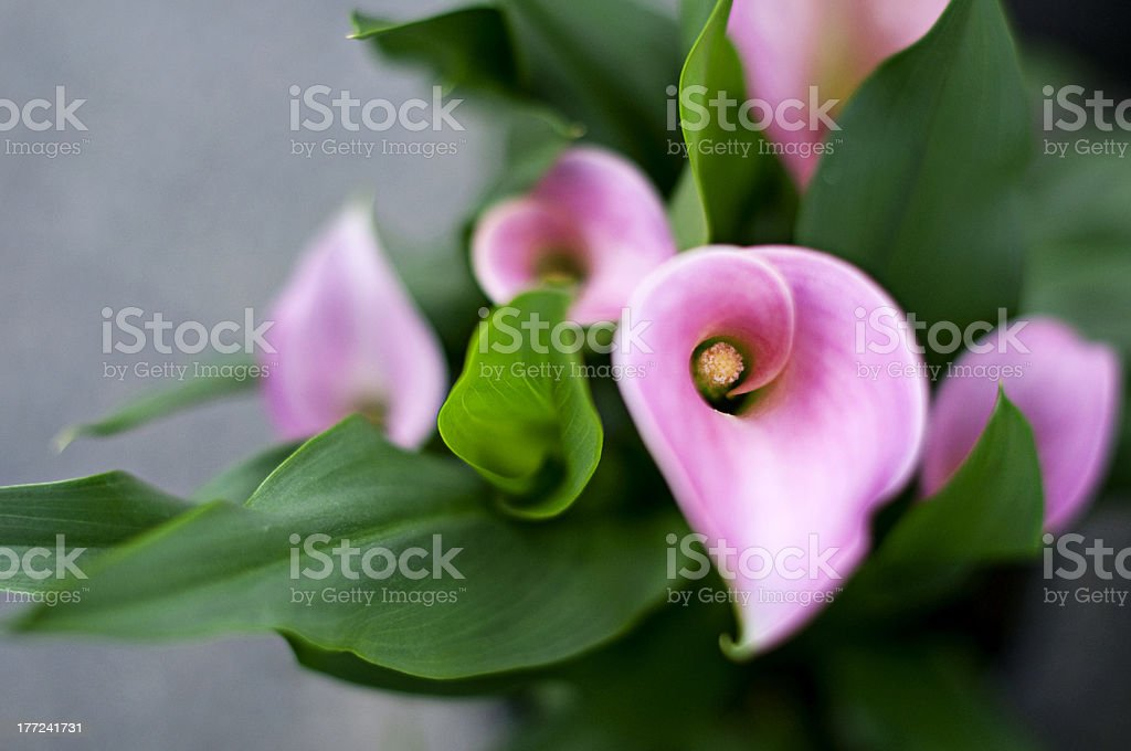Pink callas bouquet royalty-free stock photo
