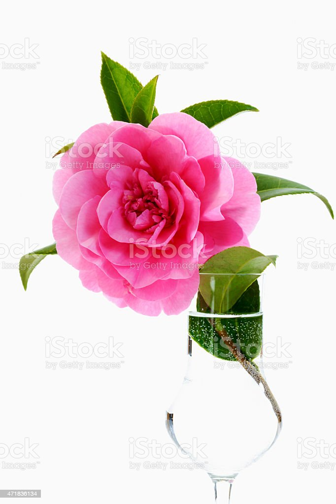 Pink camelia in glass on white background stock photo