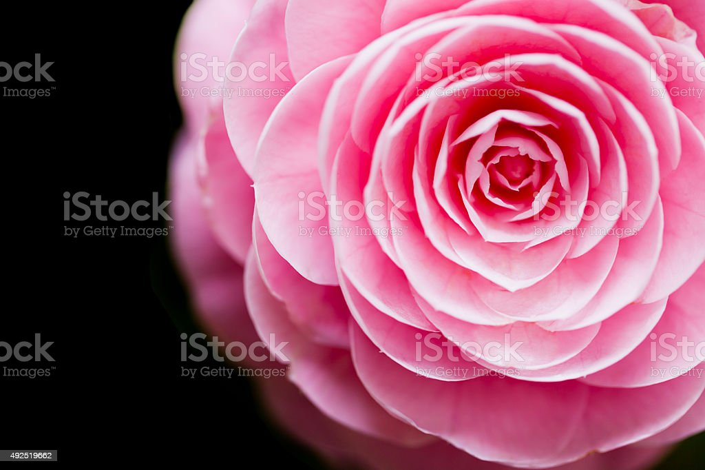 Pink Camellia  against Black Background stock photo