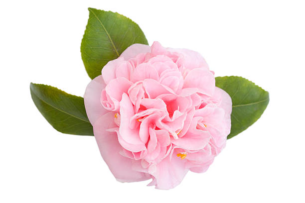 Pink Camellia Flower and Leaves on White Straight on view of a beautiful pink camellia with leaves terryfic3d stock pictures, royalty-free photos & images