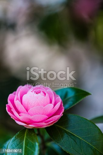 pink camellia flower against abstract background