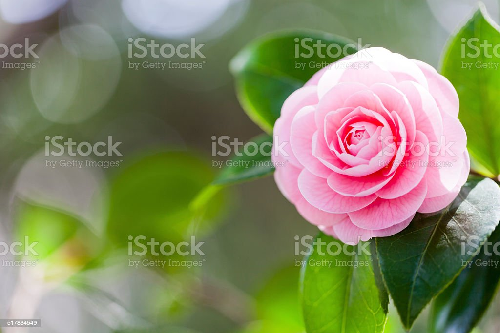 Pink Camellia stock photo