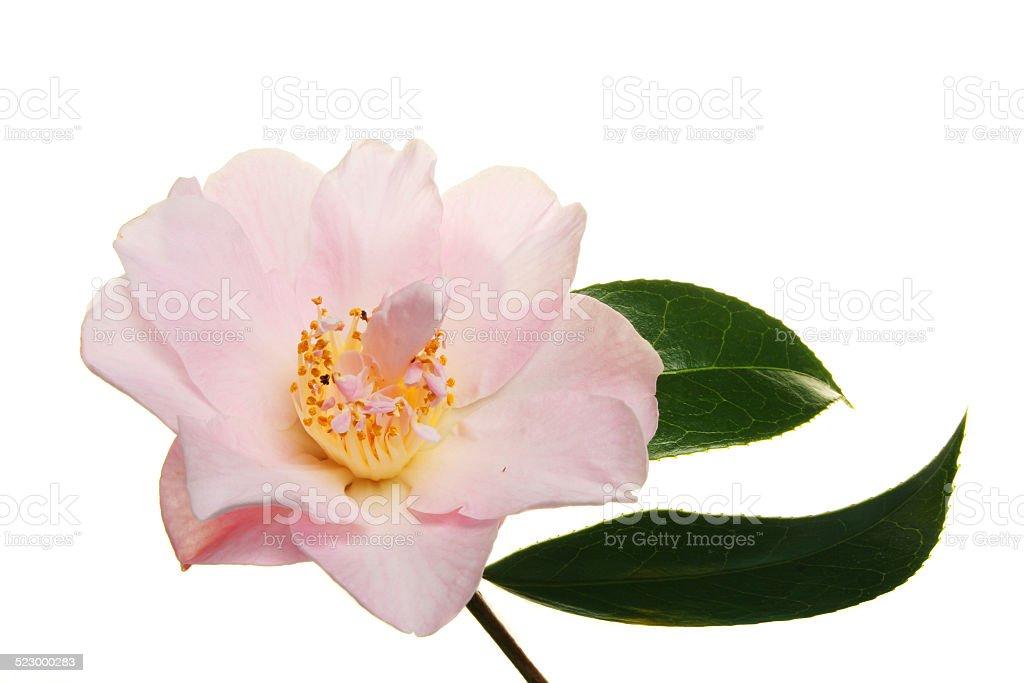 Pink Camellia stock photo