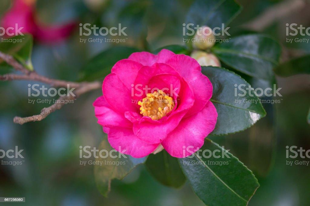 Pink Camellia sasanqua in the winter garden of Japan stock photo