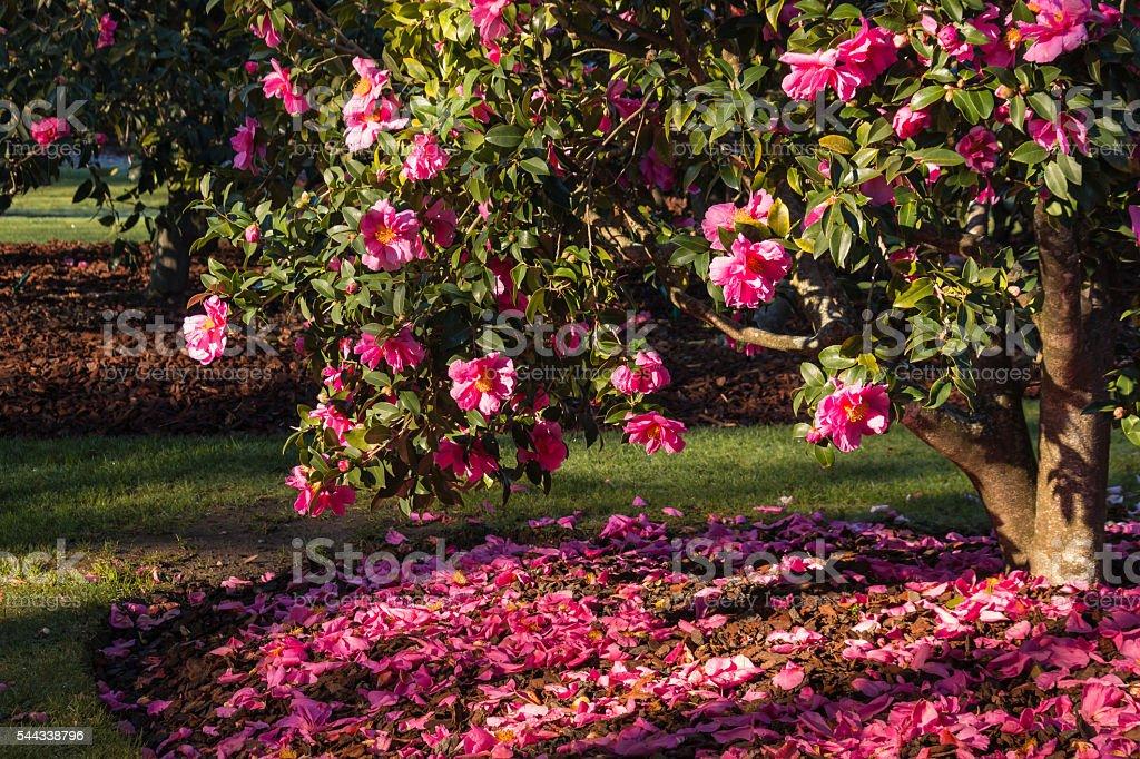 pink camellia shrub in bloom stock photo