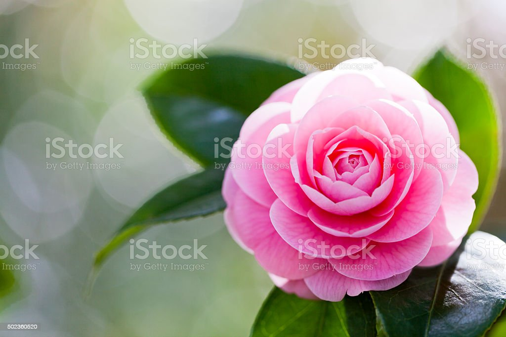 Pink Camellia With Morning Sunlight stock photo