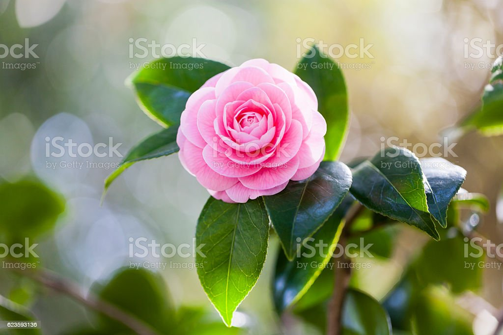 Pink camellia with sunlight in the morning stock photo