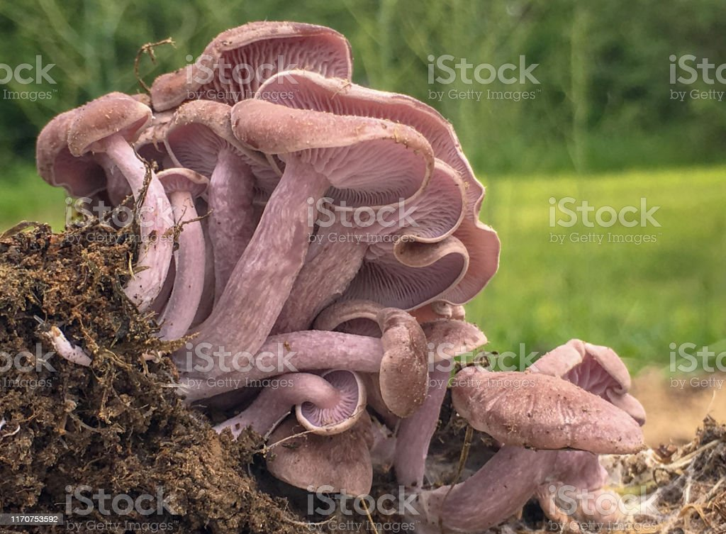 A small group of pink colored mushrooms with stems and caps growing...