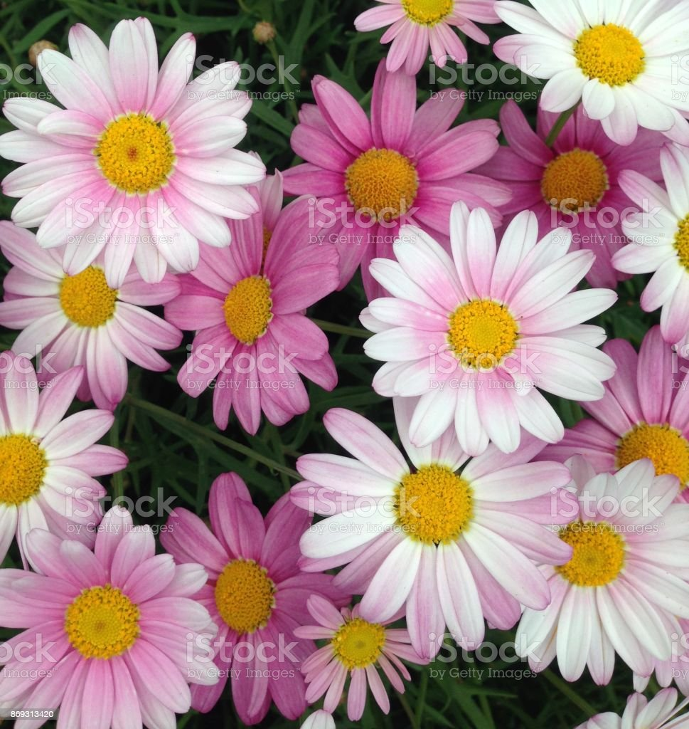 pink Cape Marguerite flowers stock photo