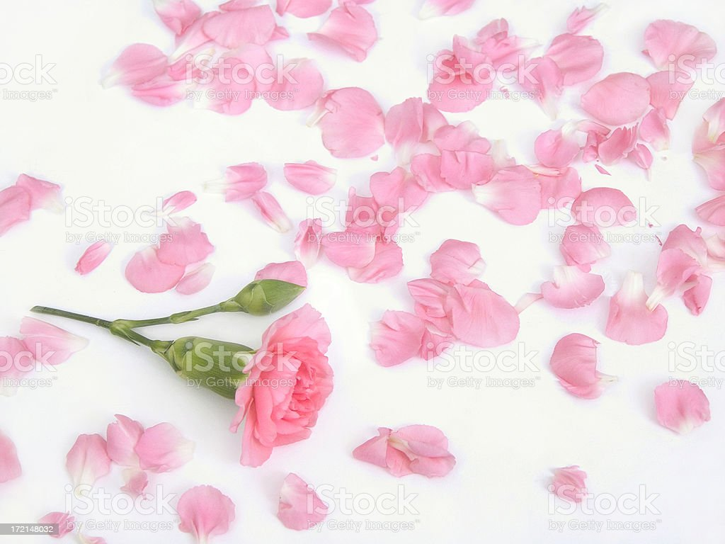 Pink Carnation Flower And Loose Petals On White Stock Photo More