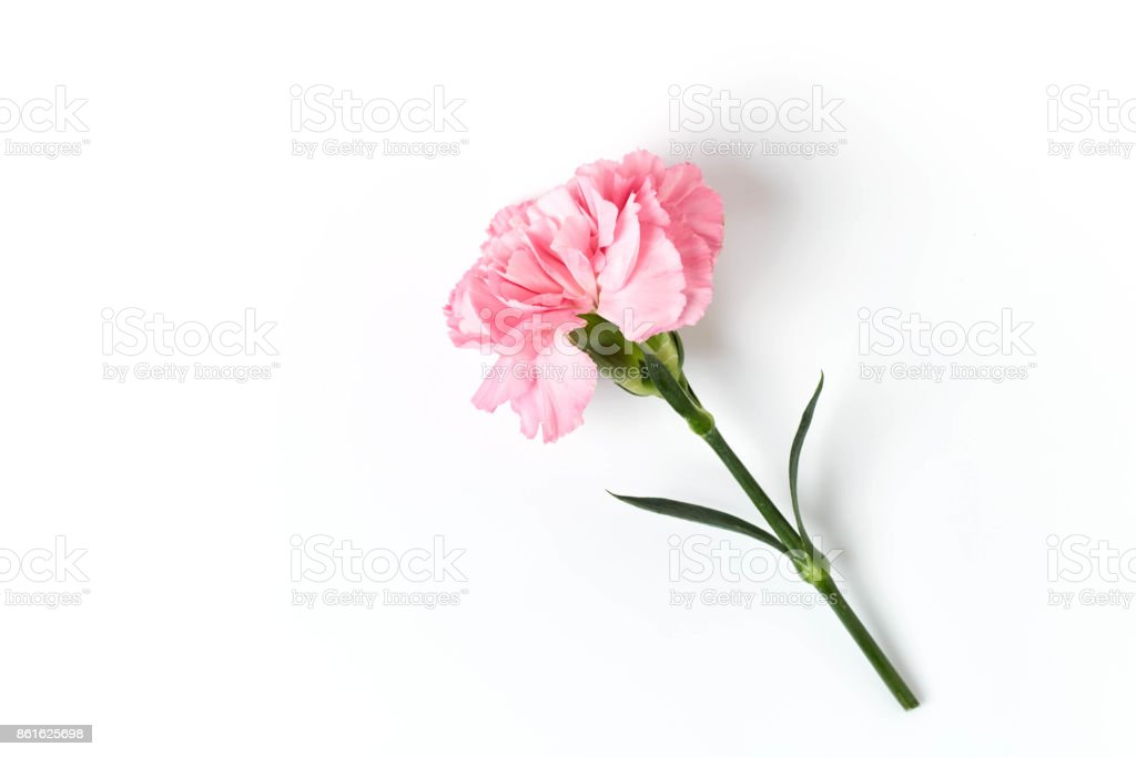 Pink carnation flower isolated on white stock photo more pictures pink carnation flower isolated on white royalty free stock photo mightylinksfo