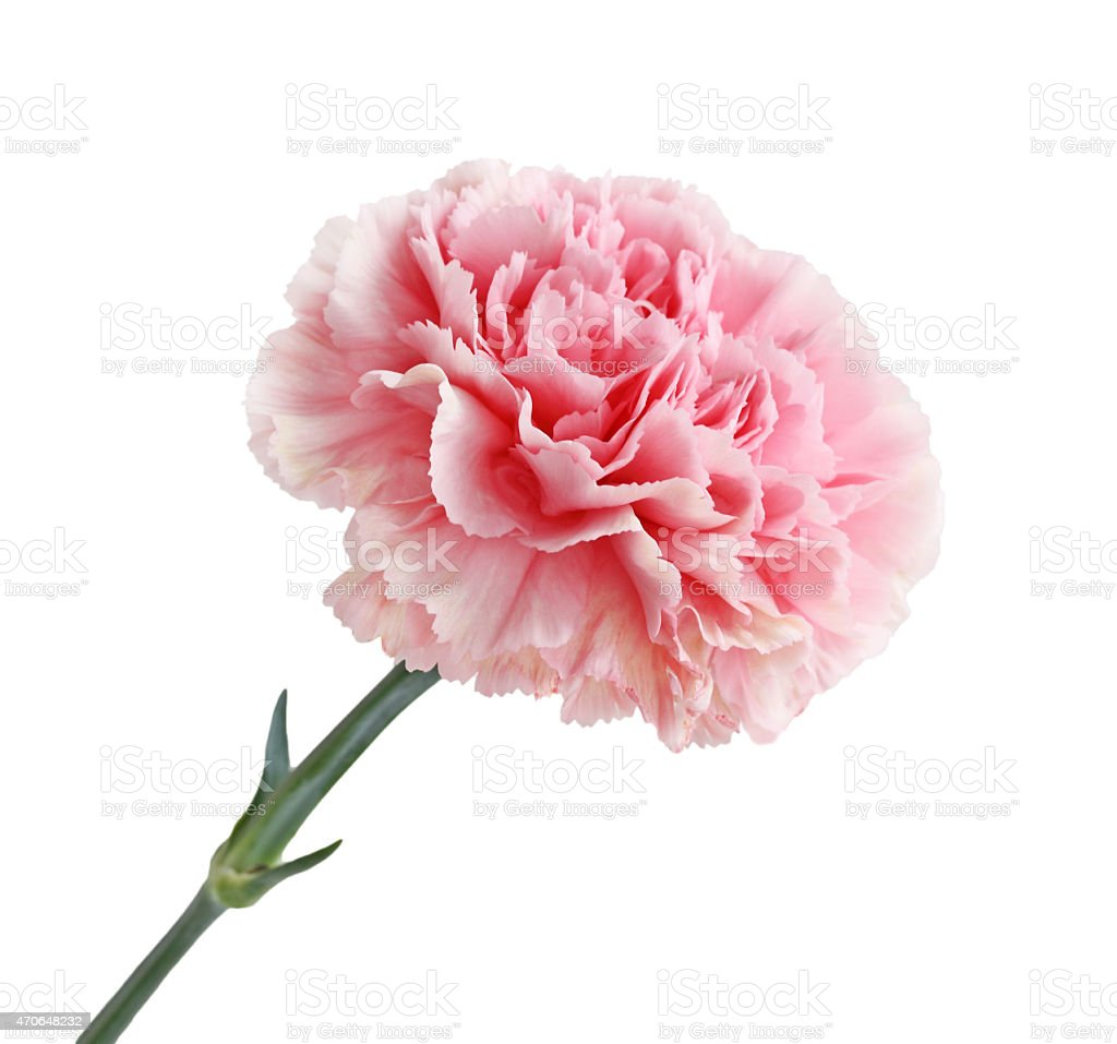 Pink Carnation Flower Stock Photo More Pictures Of 2015 Istock