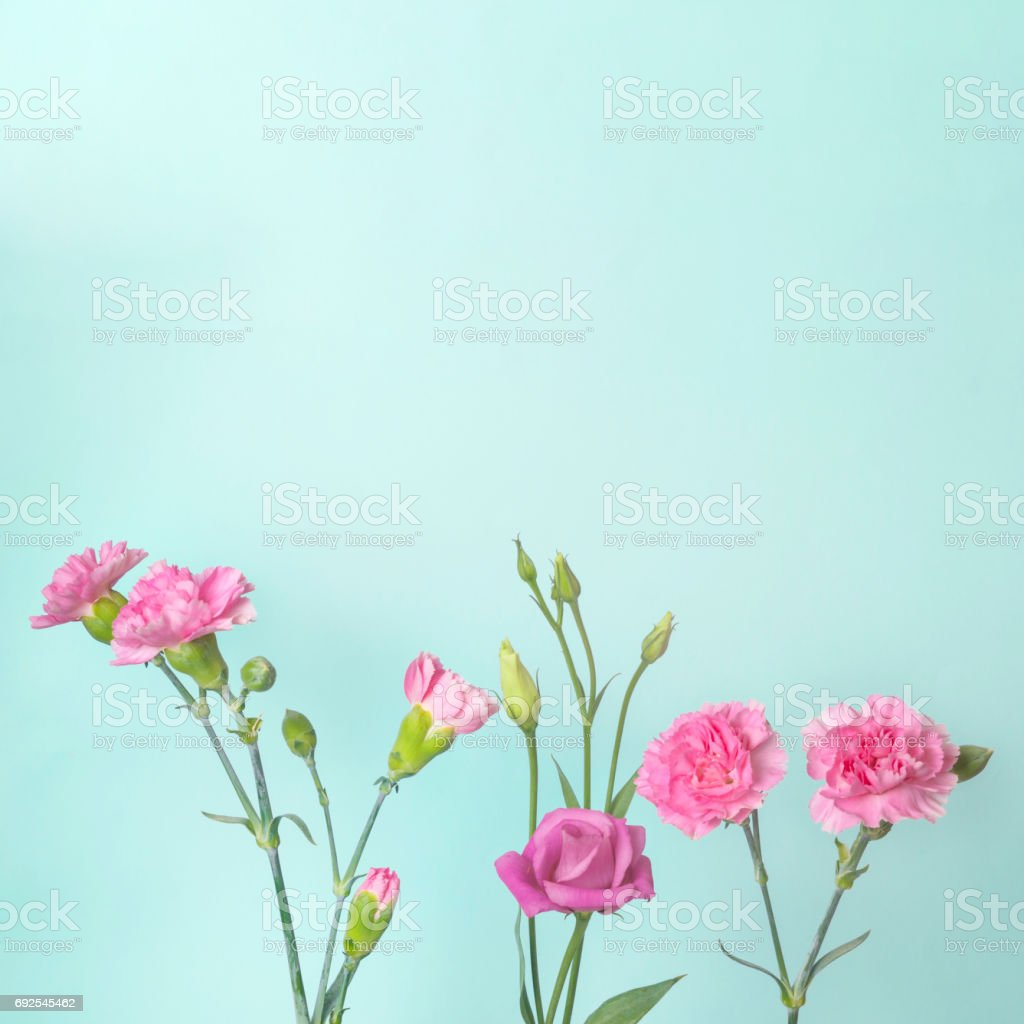 Pink Carnation Flowers And Buds On Teal Background Stock Photo