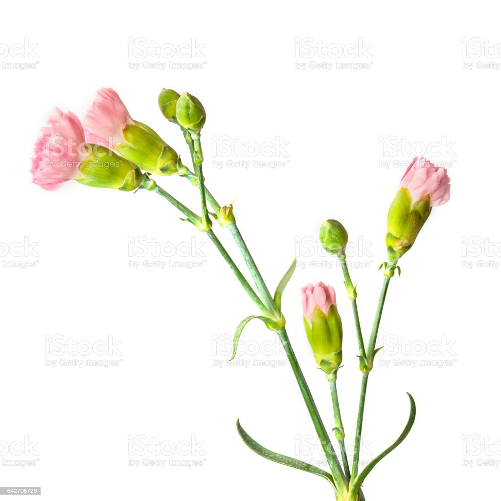 Pink Carnation Flowers And Buds On White Background Stock Photo