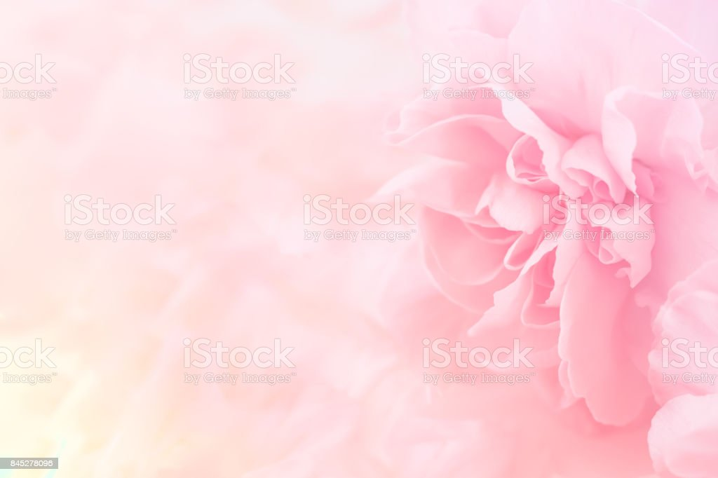 Pink Carnation Flowers Bouquet. soft filter. stock photo