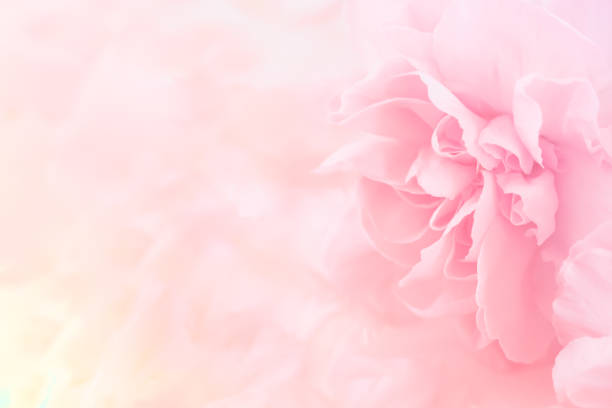 pink carnation flowers bouquet. soft filter. - flowers stock photos and pictures