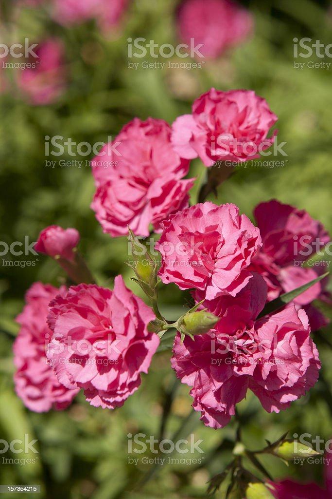 Pink carnation. royalty-free stock photo