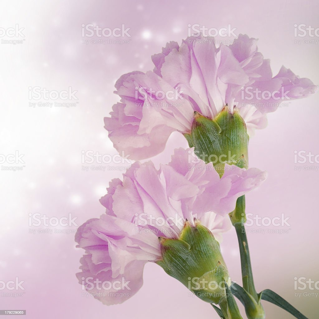 Pink carnation royalty-free stock photo