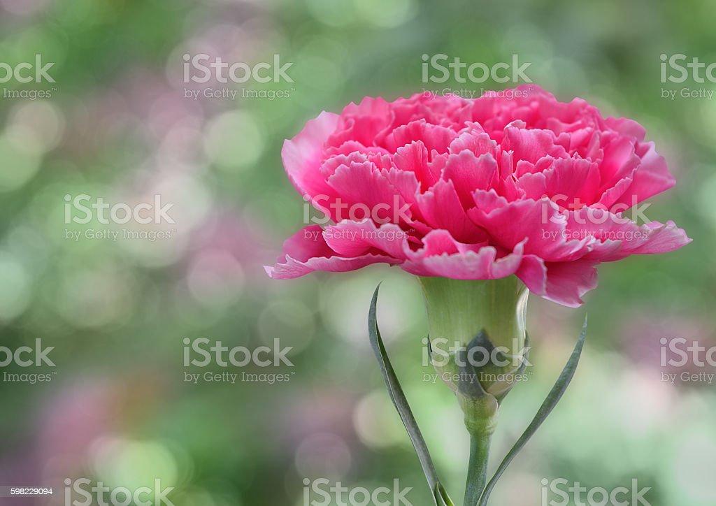 Cravo-de-rosa foto royalty-free