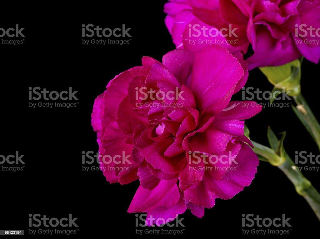 핑크 카네이션 royalty-free 스톡 사진