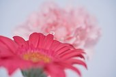 Pink carnation reflected in the water droplet of red gerbera