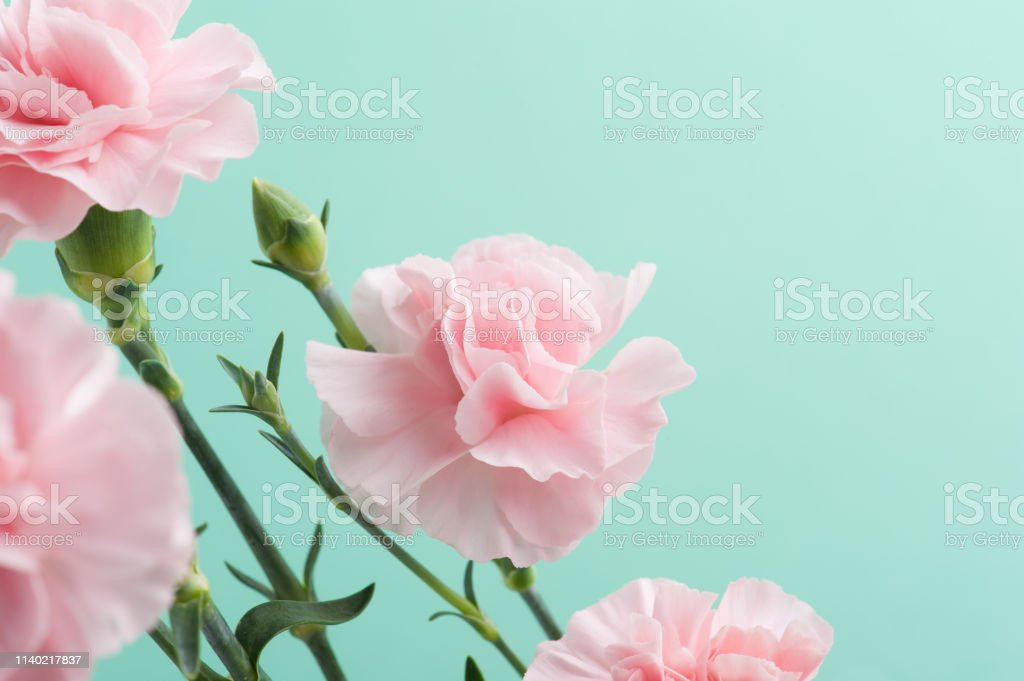 Pink Carnations On Mint Green Background Stock Photo Download Image Now Istock