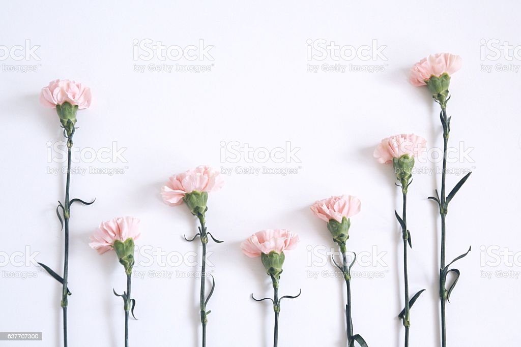 Pink Carnations on white background stock photo