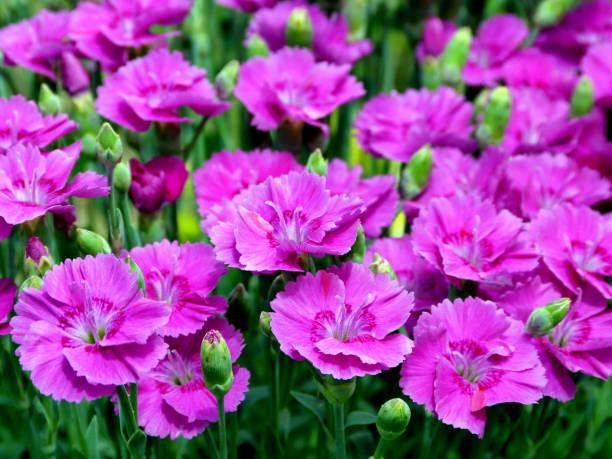 pink carnations - pixie schnitt stock-fotos und bilder