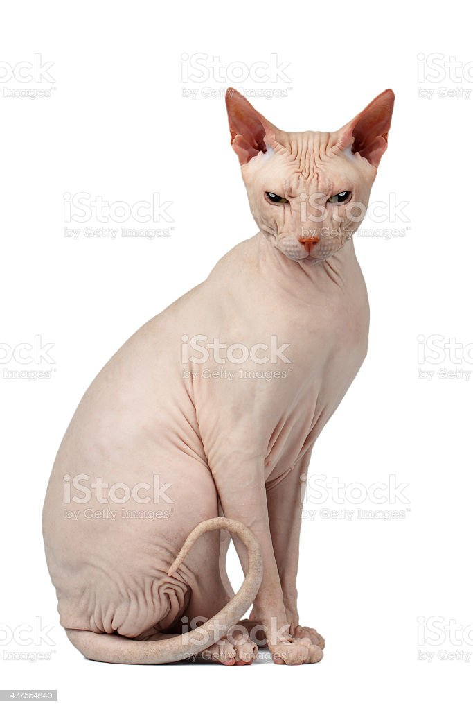 Pink Cat Sphynx Sits. Naked cat Isolated on White stock photo