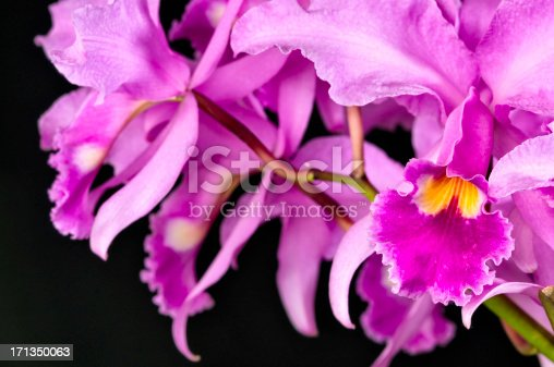 Group of pink hybrid orchids on black background