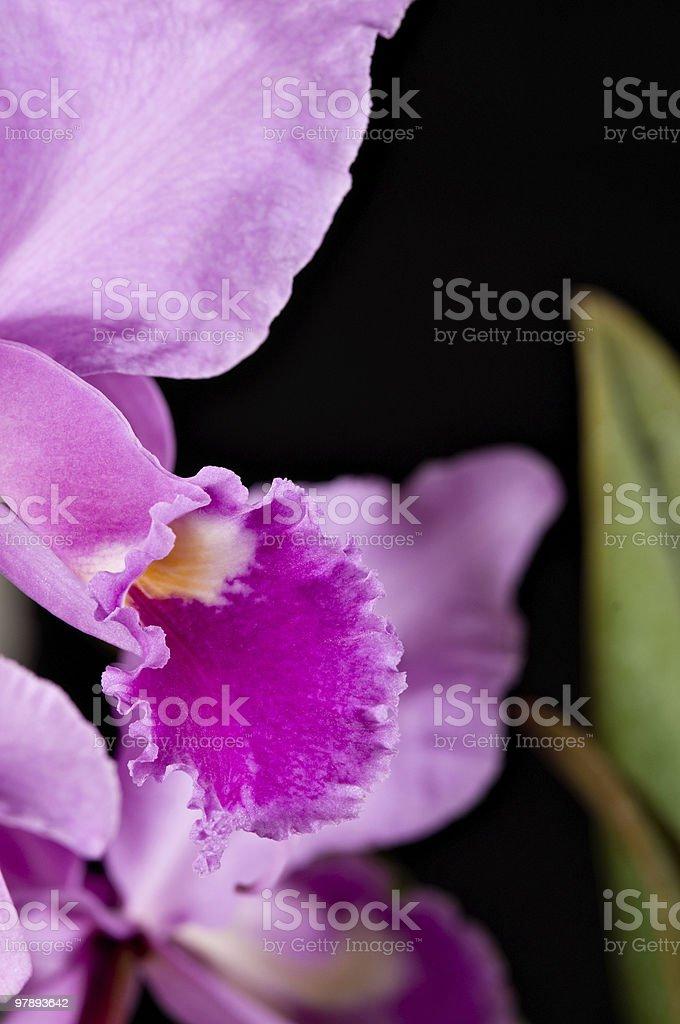 Pink Catleyas royalty-free stock photo