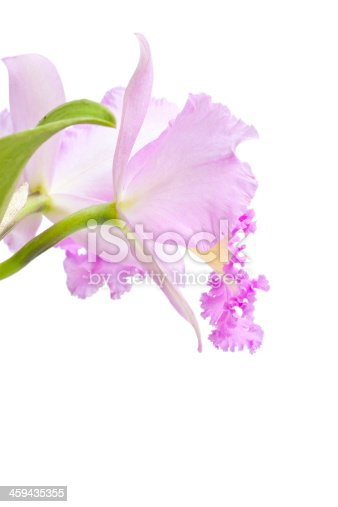 Pink cattleya flowers isolated on white