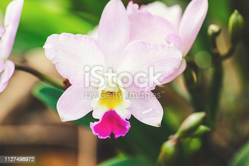 Pink Cattleya orchid in forest