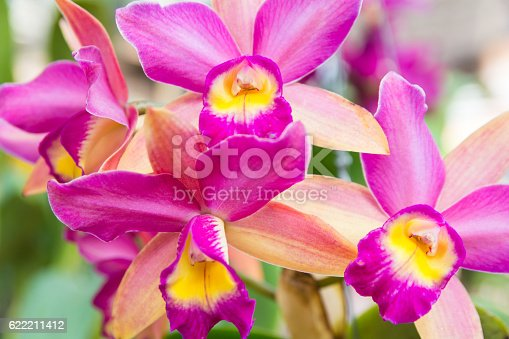 Beautiful Cattleya  orchid in Thailand,Close up of beautiful orchid.
