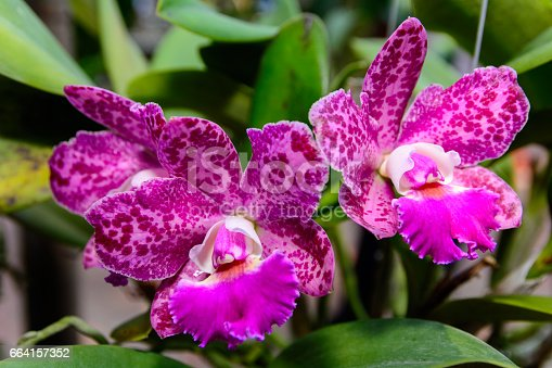 Pink Cattleya  orchid in Thailand,Close up of beautiful orchid.