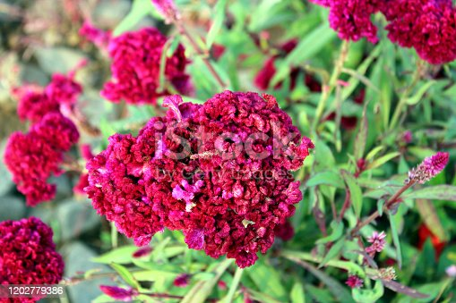 Pink Celosia Cristata Flowers close up. Wild plant.