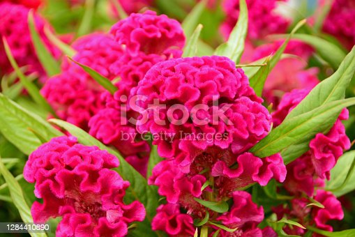 Ornamental garden: Bunch of blooming pink Celosia argentea var: cristata. Flower head in bizarre shape.