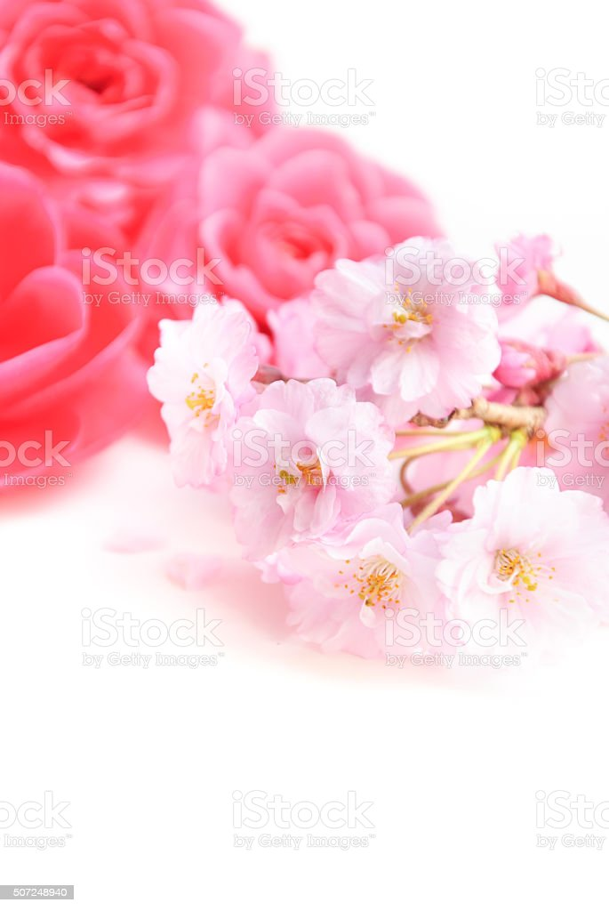 pink chamellia flowers and cherry blossoms stock photo