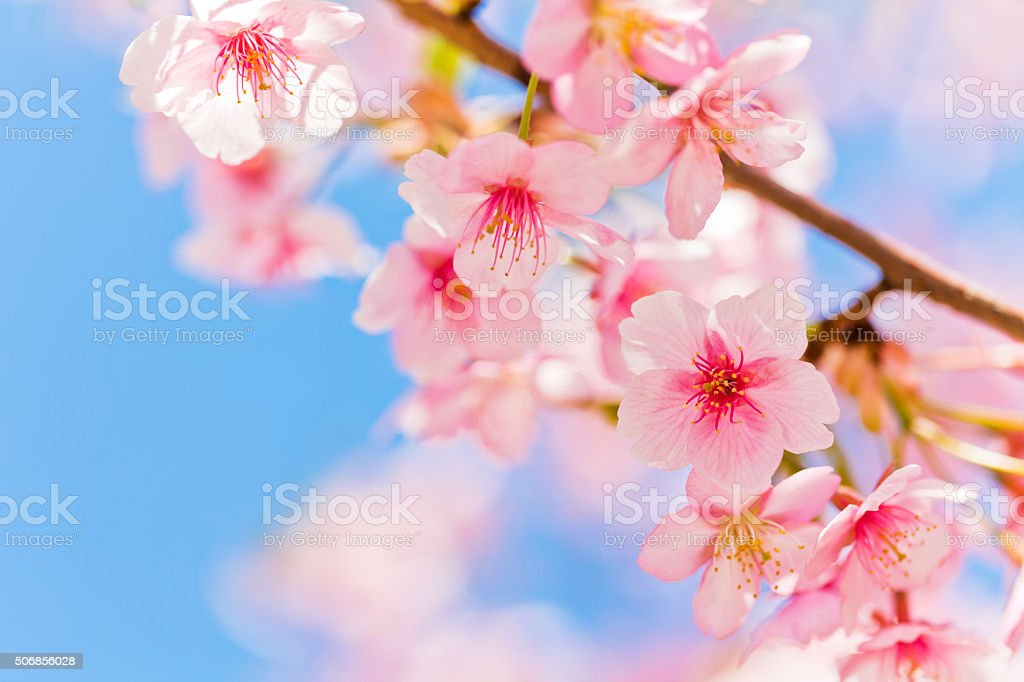 Pink Cherry Blossom Against Clear Blue Sky stock photo