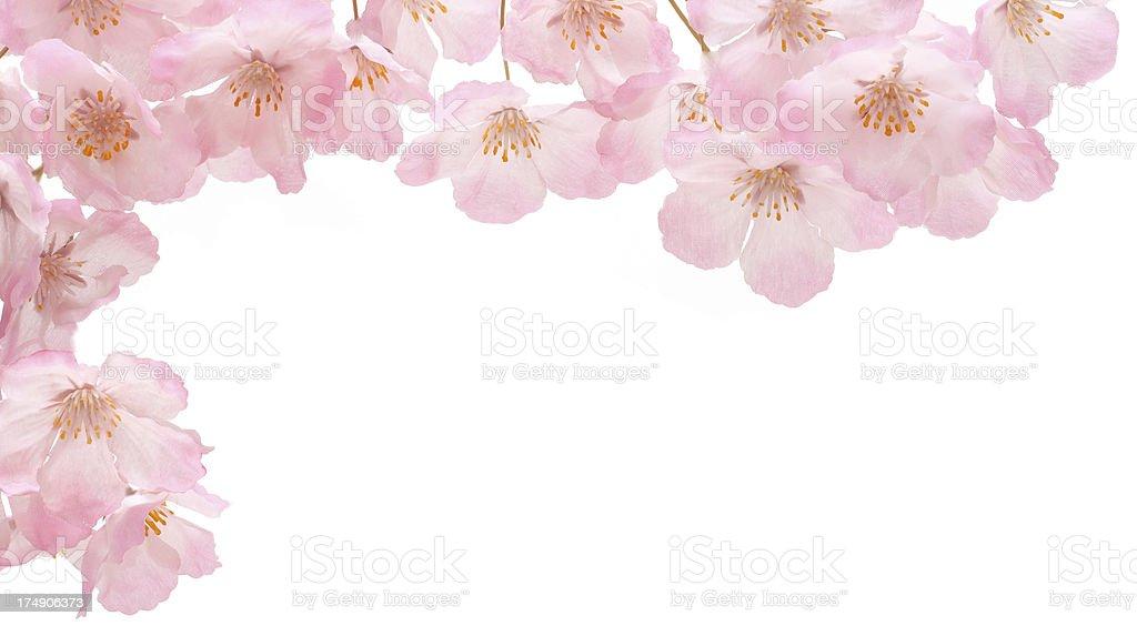 Pink cherry blossom border royalty-free stock photo