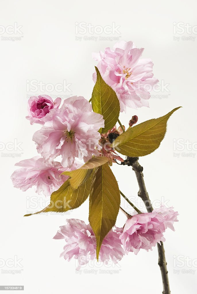 Pink Cherry blossom branch on white royalty-free stock photo