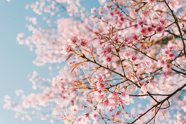 pink cherry blossom flower - spring stock pictures, royalty-free photos & images