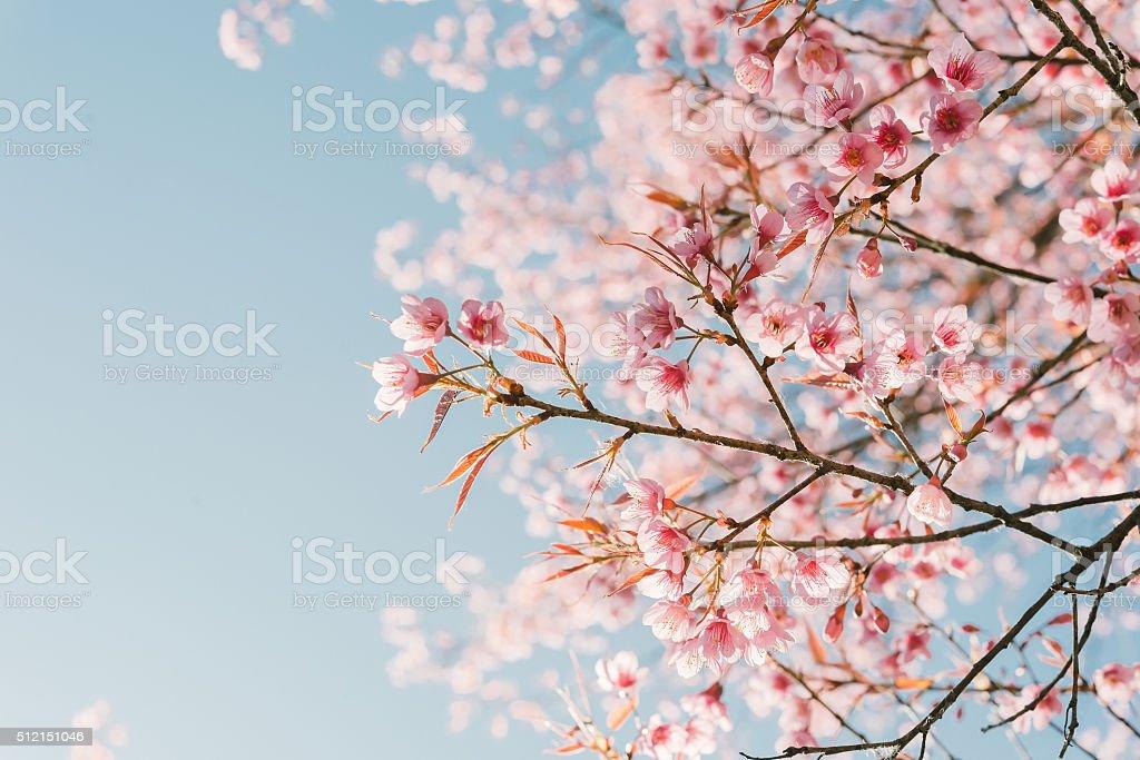 Rosa Kirschblüten Blume – Foto