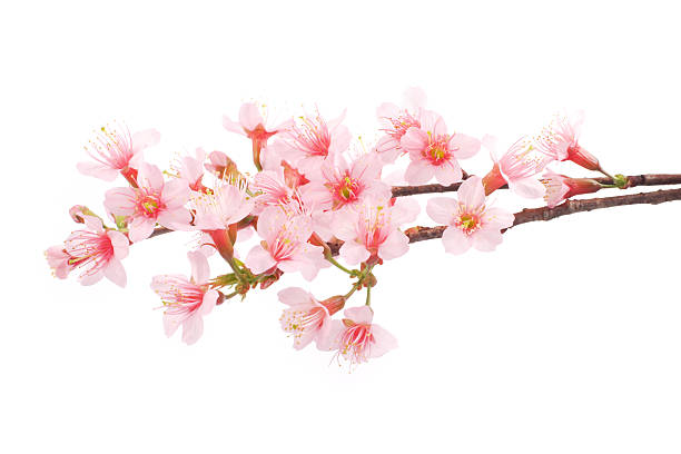 Royalty free cherry blossom pictures images and stock photos istock pink cherry blossom flowers white background stock photo mightylinksfo
