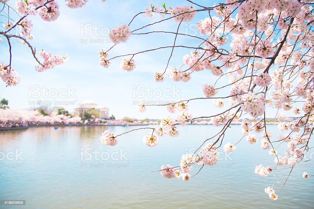 Pink Cherry Blossom Framing Jefferson Memorial In Washington Dc ...