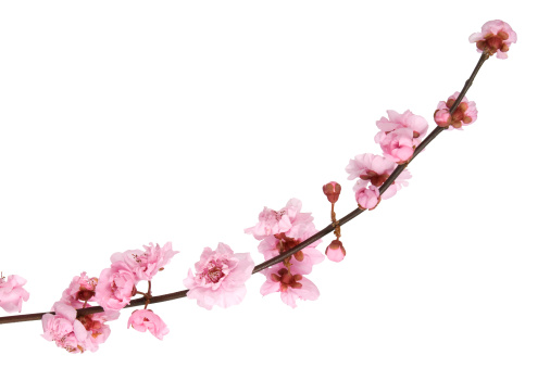Pink cherry blossom isolated on white background.