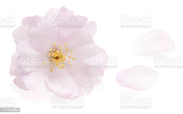 Pink cherry blossom isolated on white picture id177513804?b=1&k=6&m=177513804&s=612x612&h=glly5mklx5 8pq7cwsovcja9dhipggtv lm3x8gdmos=